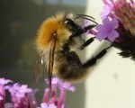 Carder-Bee-photo-1-4-DP
