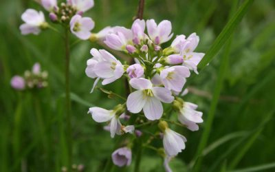 Outdoor Meeting: Flora of Cossington Meadows: This meeting has been cancelled