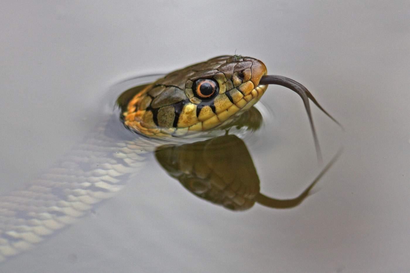 Grass-snake_OakhamKR1