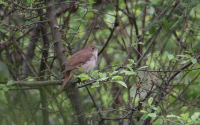Outdoor Meeting: Nightingales at Grafham Water