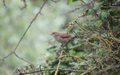 Indoor Meeting: Nightingales